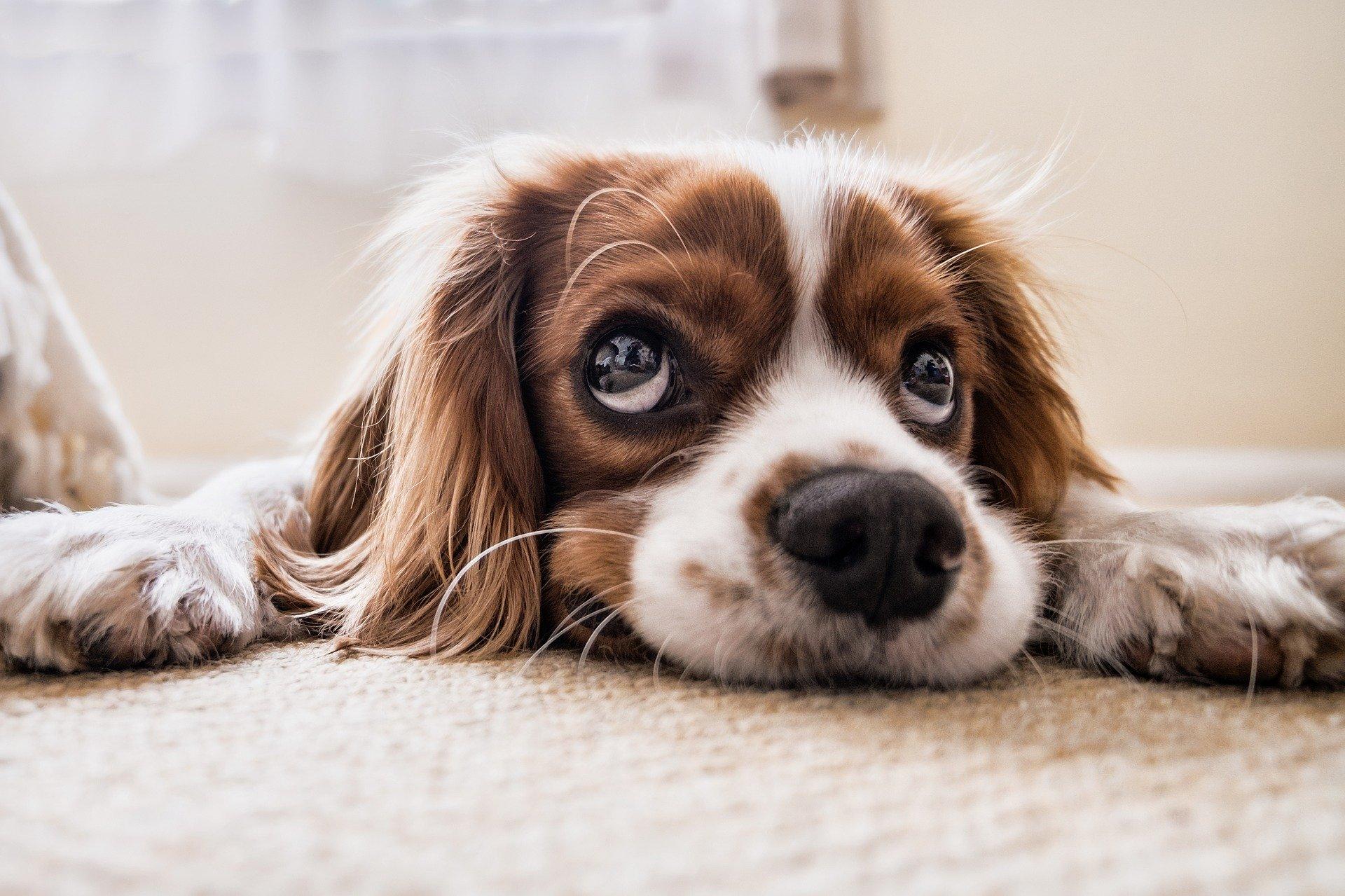 gdv in dogs