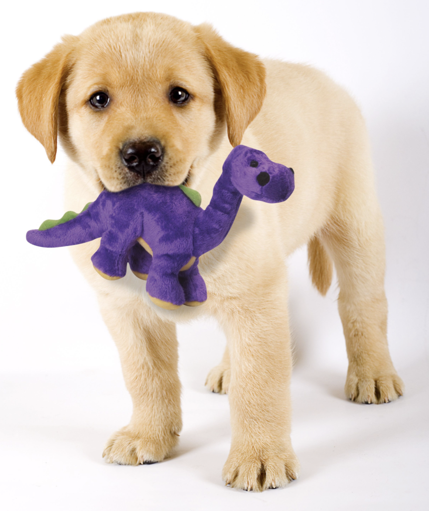 Lab puppy with toy
