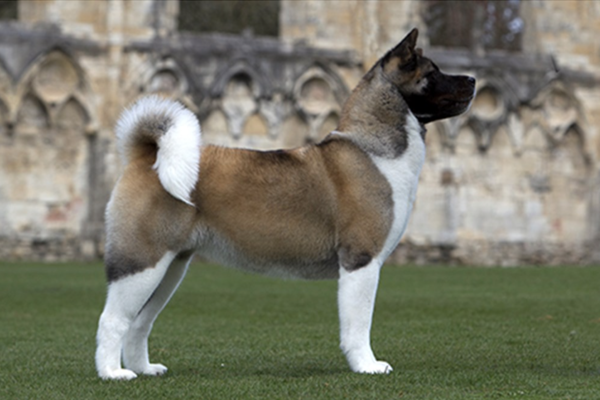 Breed overview the akita