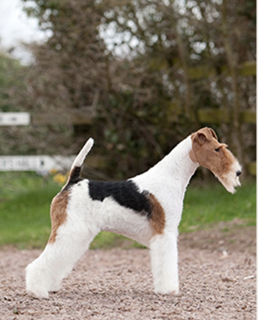 Breed overview the Wire Fox Terrier