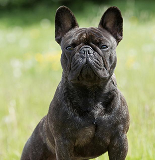Breed profile the French bulldog