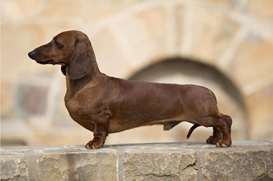 Dachshund breed profile