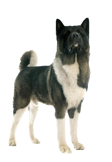 Akita - Beds, Collars and Accessories
