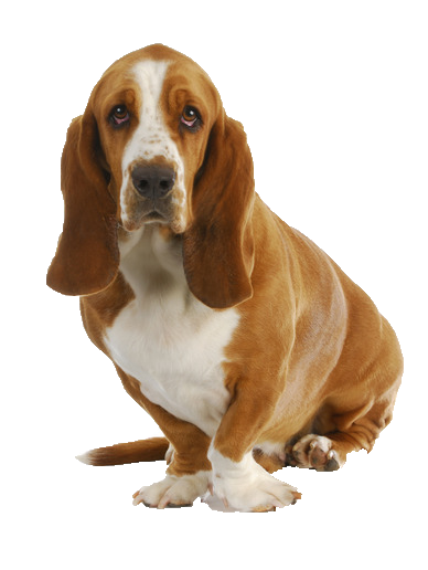 Basset Hound - Beds, Collars and Accessories