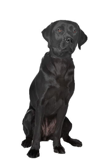 Labrador - Beds, Collars and Accessories