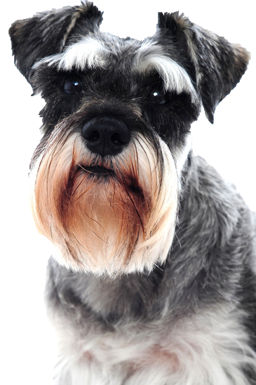 Schnauzer - Beds, Collars and Accessories