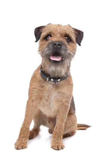 Border Terrier - Beds, Collars & Accessories