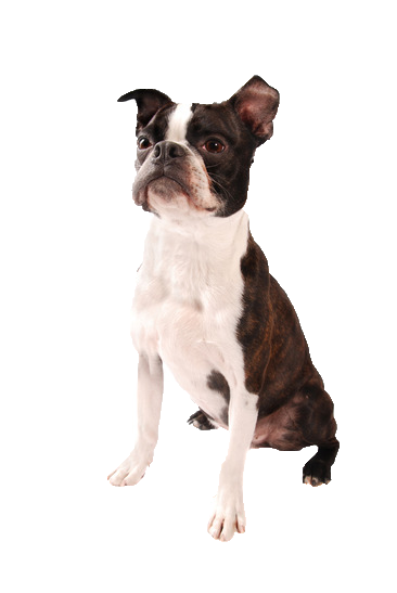 Boston Terrier - Beds, Collars and Accessories