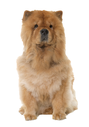 Chow Chow - Beds, Collars and Accessories