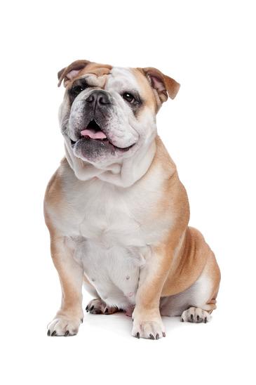 British Bulldog - Beds, Collars & Accessories