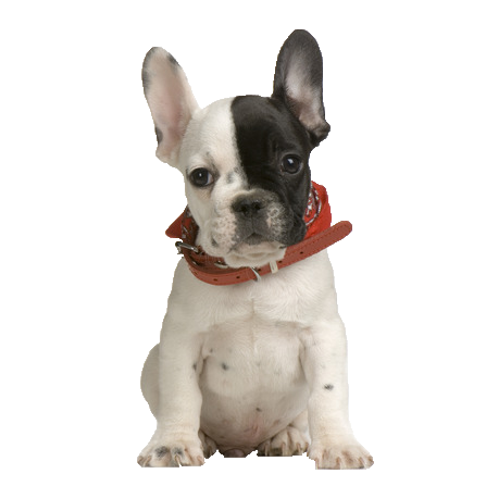French Bulldog - Beds, Collars and Accessories