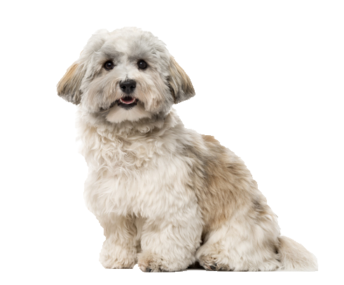 Havanese - Beds, Collars and Accessories