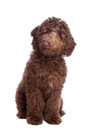 Labradoodle - Beds, Collars and Accessories