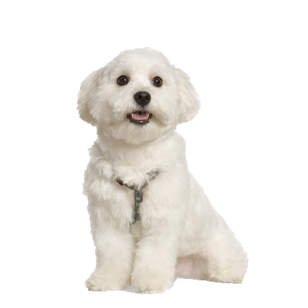 Maltese - Beds, Collars and Accessories