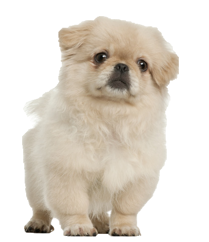 Pekingese - Beds, Collars and Accessories
