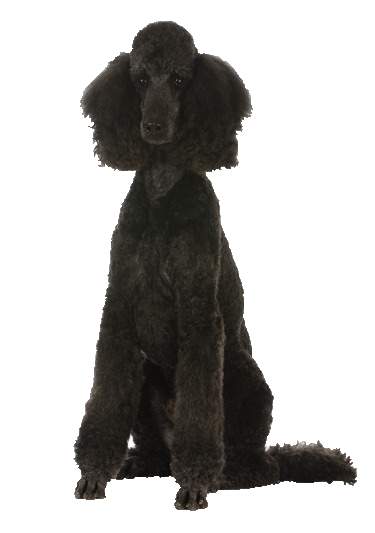 Poodle Beds Collars And Accessories